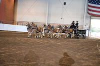 Haflinger Draft Pony Six-Horse Hitch